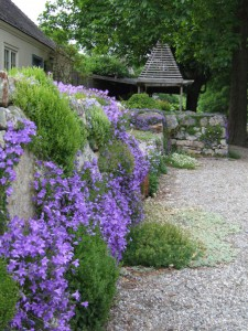 Campanula portenschlagiana at Potting Shed